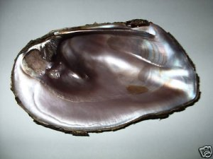 Pearl River Swamp Louisiana River Clam/Muscle shell