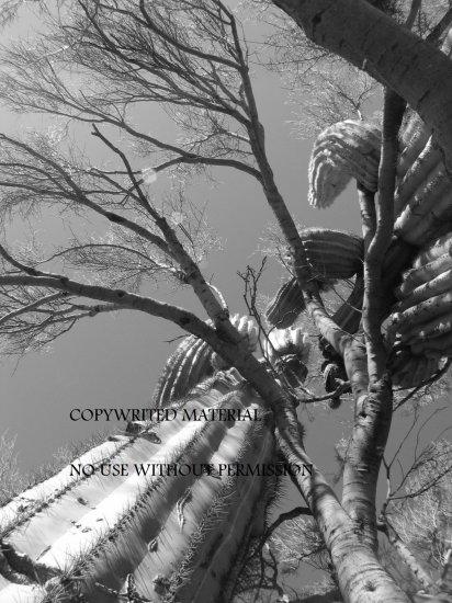 Saguaro Cactus and Palo Verde Tree Photograph Photo Print