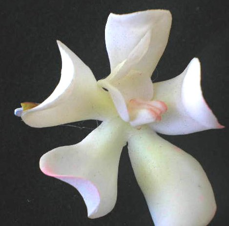 tiny white  orchid