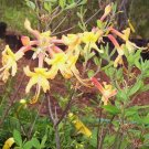 Rhododendron Austrinum Florida Azalea Native Plant Shrub Gallon Yellow Orange Bloom