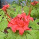 Rhododendron Prunifolium Plumleaf Azalea Native Plant Shrub Gallon Red Orange Bloom
