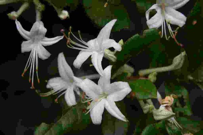 Rhododendron Viscosum Swamp Azalea Native Plant Shrub Gallon Red Orange Bloom