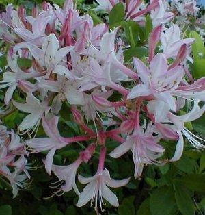 Rhododendron Atlanticum Marydel Azalea Native Plant Shrub Gallon Yellow Orange Bloom