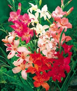 Winter Hardy Gladiolus