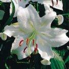 Oriental Lily***Casa Blanca (5) Bulbs