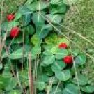 20 Wintergreen plants***(partridgeberry)