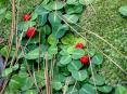 20 Wintergreen plants***(partridgeberry)
