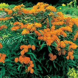 ASCLEPIAS-TUBEROSA***Butterfly Weed****250 SEED!