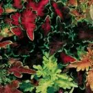 COLEUS**Carefree Mix****250 SEED!