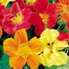 NASTURTIUM**WHIRLYBIRD**EDIBLE FLOWERS****125 SEED!