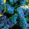 STATICE SOIREE**DEEP BLUE**GREAT DRIED FLORAL***250 SEED!