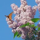 """MONARCH AND LILACS**8""""X10"""""""