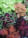 COLEUS WIZARD MIX*****250 SEED!