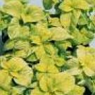 COLEUS WIZARD-GOLDEN****250 SEED!