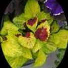 COLEUS WIZARD-PINEAPPLE*****250 SEED!