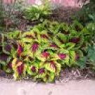 COLEUS WIZARD-ROSE*****250 seed!
