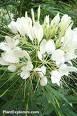 CLEOME SPARKLER-WHITE-SPIDER PLANT*****50 SEED!