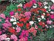DIANTHUS TELSTAR-MIX*****125 SEED!
