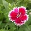 DIANTHUS TELSTAR-PICOTEE*****125 SEED!