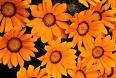 GAZANIA DAYBREAK-BRIGHT ORANGE*****125 SEED!