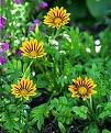GAZANIA DAYBREAK-RED STRIPE*****125 SEED!