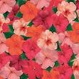 IMPATIENS-SHADY LADY-RED*****250 SEED!