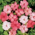 IMPATIENS-SHADY LADY-BLUSHING BEAUTIES MIX****250 SEED!