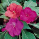 IMPATIENS-SHADY LADY-GLOW GIRL MIX****250 seed!