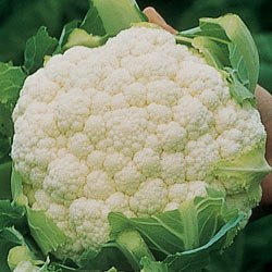 CAULIFLOWER-AMAZING*******250 SEED!