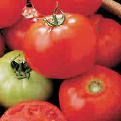 TOMATO-CELEBRITY****125 SEED!