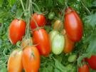 TOMATO-ROMA**HEIRLOOM***500 SEED!