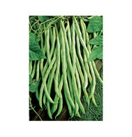 POLE BEAN-FORTEX****100 SEED!