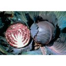 CABBAGE-SUPER RED*******500 SEED!