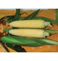 CORN-SPRING TREAT (SUGAR ENHANCED)****75 SEED!