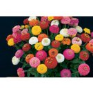 ZINNIA*SUN BOW MIX********************800 SEED!