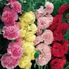 HOLLYHOCK*SUMMER CARNIVAL MIX**************500 SEED!