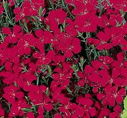 DIANTHUS*ZING-ROSE*PERENNIAL SEED*************250 SEED!