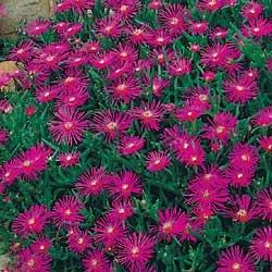 Delosperma Table Mountain Ice Plant 250 Seed