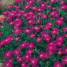 DELOSPERMA*TABLE MOUNTAIN*ICE PLANT*******250 SEED
