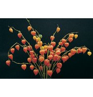 CHINESE LANTERNS*EVERLASTING CUTFLOWER****1,200 SEED!!!