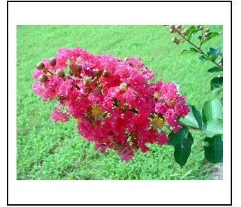 CREPE (CRAPE) MYRTLE*TUSCARORA*************8 PLANTS!
