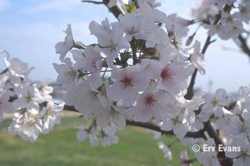 YOSHINO CHERRY TREES*PINK/WHITE FLOWERING****8 TREES!