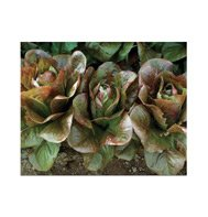 ROMAINE*ROUGE D'HIVER***ORGANIC & HEIRLOOM**6,000 SEEDS