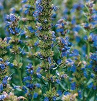 ANISE HYSSOP***ORGANIC*****10,000 SEEDS!