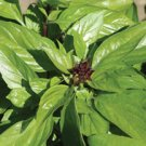 BASIL*THIA MAGIC*************3,000 SEED!