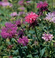BEE BALM*PANORAMA MIX*************350 SEED!