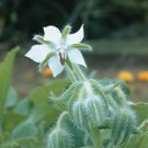 BORAGE*WHITE***************700 SEEDS!