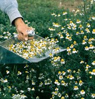 CHAMOMILE*COMMON**************80,000 SEED!