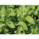 CHICKWEED*****ORGANIC*******3,000 SEEDS!