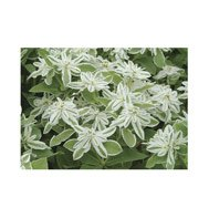 EUPHORBIA**SNOW ON THE MOUNTAIN****25 SEED